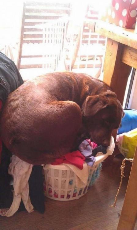 perro de color cafe dormido encima de la ropa