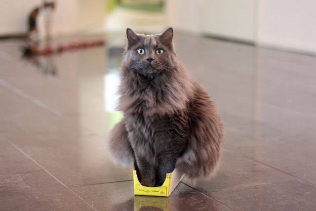 gato gris arriba de una pequeña caja amarilla