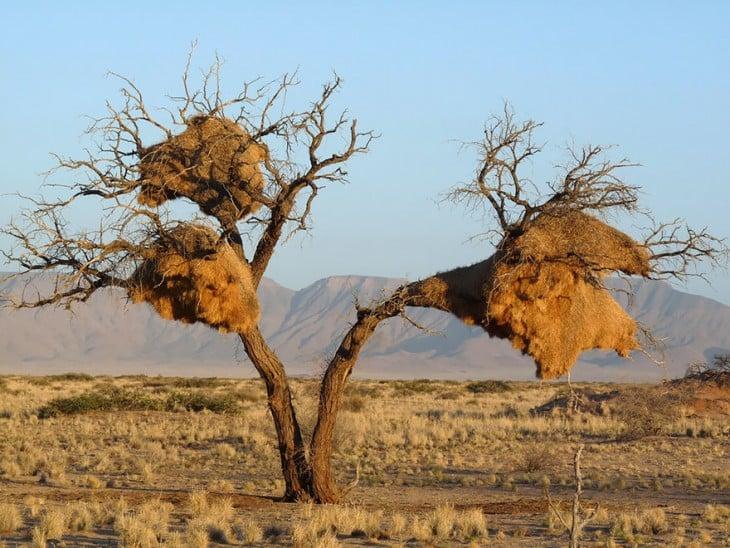 arboles con paja en sus ramas