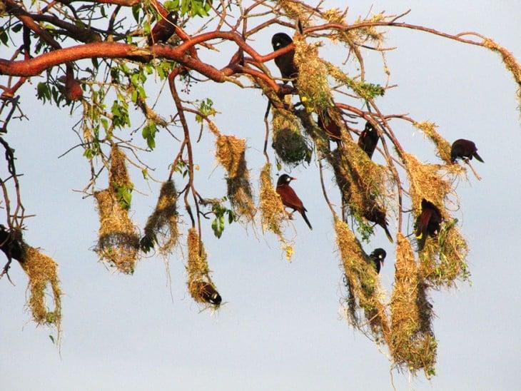 pajaros que hacen nidos que cuelgan de las ramas de un arbol