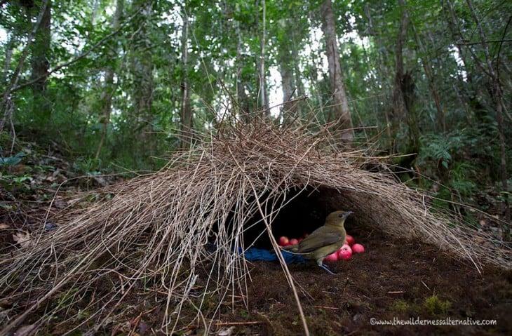nido de pajaros en el suelo con huevos rojos