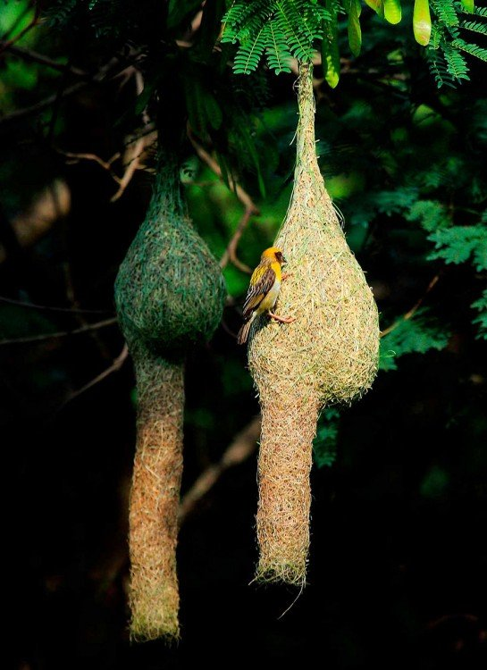 nido colgando de un árbol