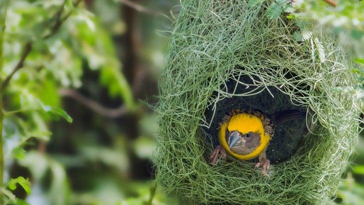 nido en el que esta un pajaro de color amarillo