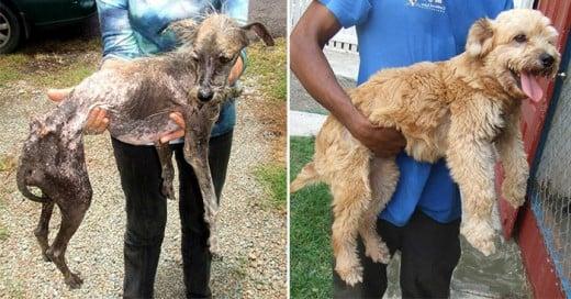 fotos conmovedoras de perros el antes y despues de su rescate