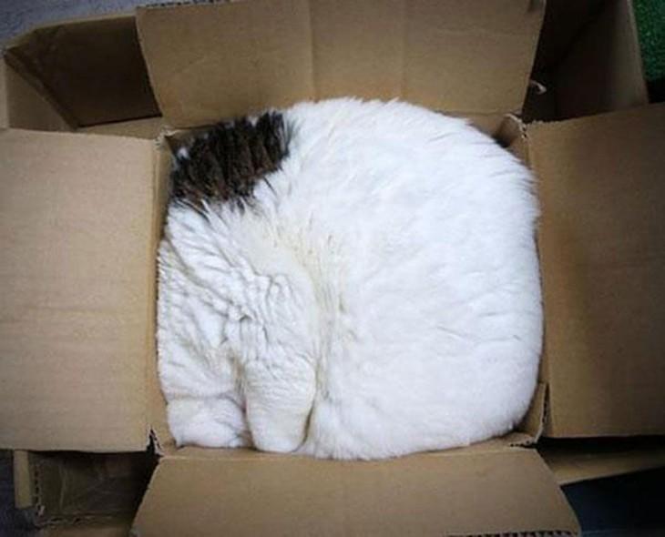 caja con un gato blanco con mancha negra