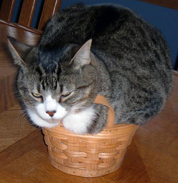 gato gris con blanco encima de una canastilla