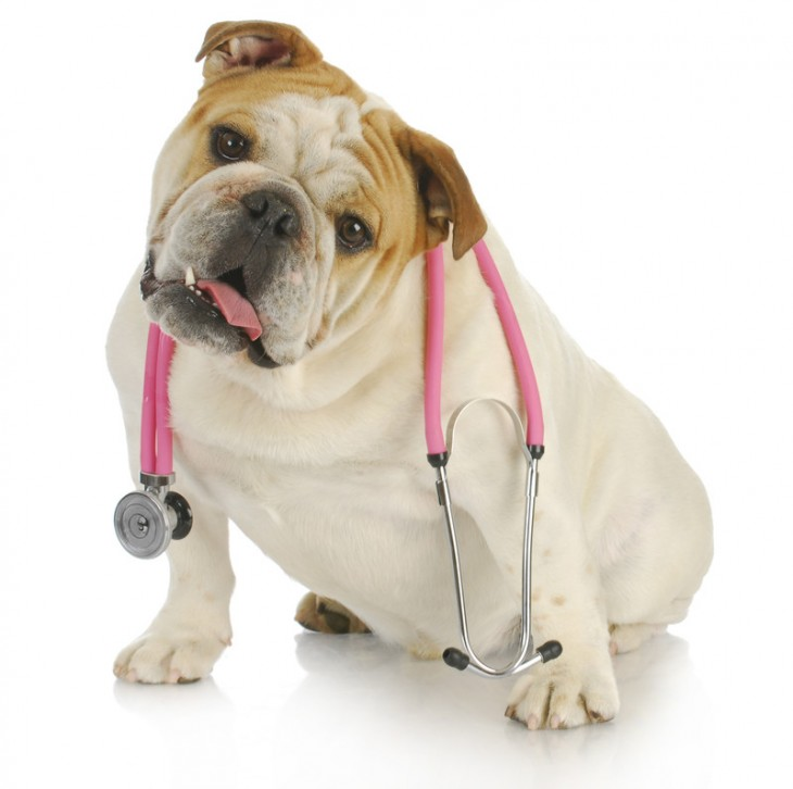 perro bulldog con un estetoscopio medico