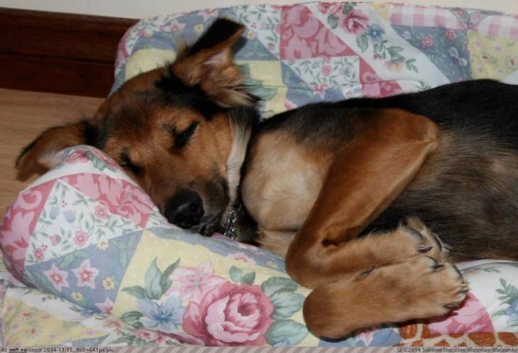 perrito paralitico dormido en el sillon