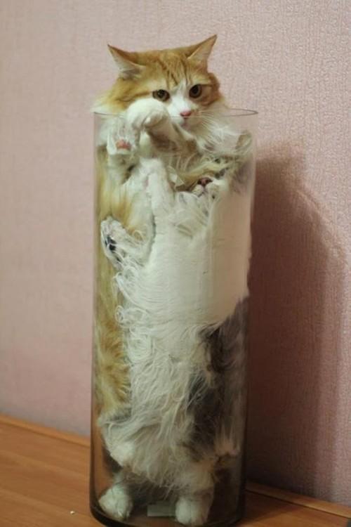 gato dorado con blanco adentro de un florero
