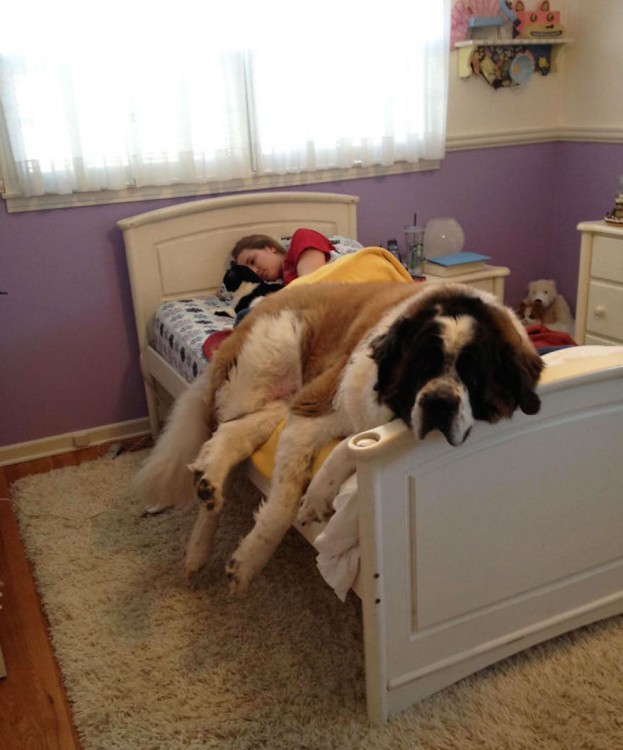 huge-dogs-feel-small-st-bernard-on-bed__605 (1)