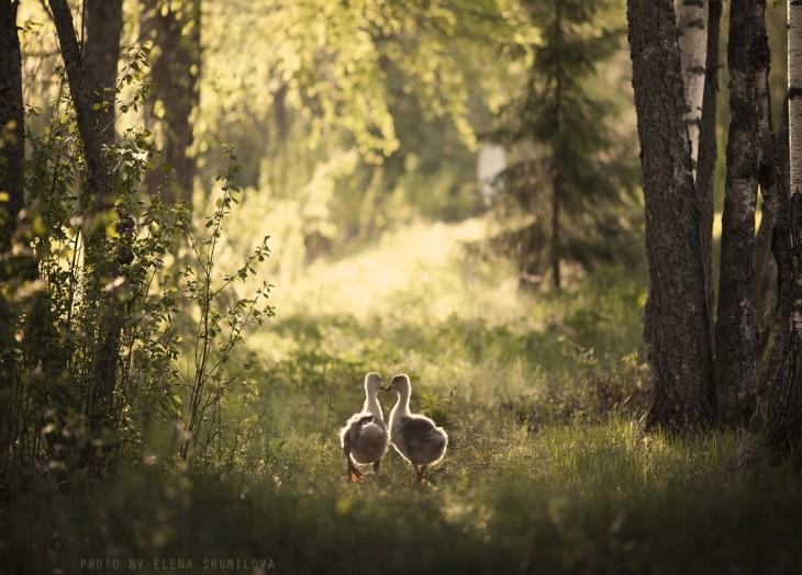 dos patos caminando