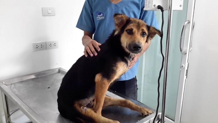 perrito que esta siendo consultado por veterinario