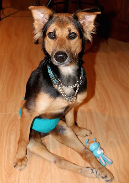 perro que usa pañal debido a que no puede hacer pipi