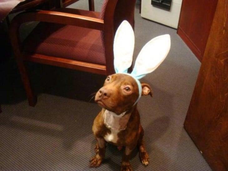 perros orejas de conejo