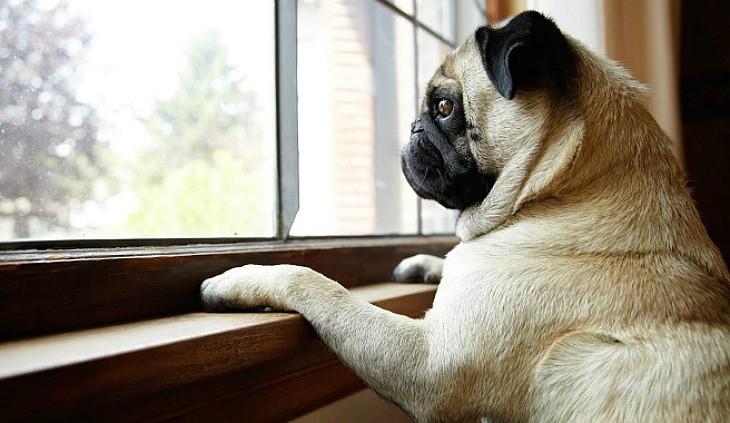 perro de raza pug asomandose en la ventana