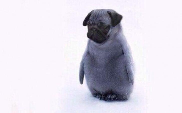 pinguino cabeza de bulldog