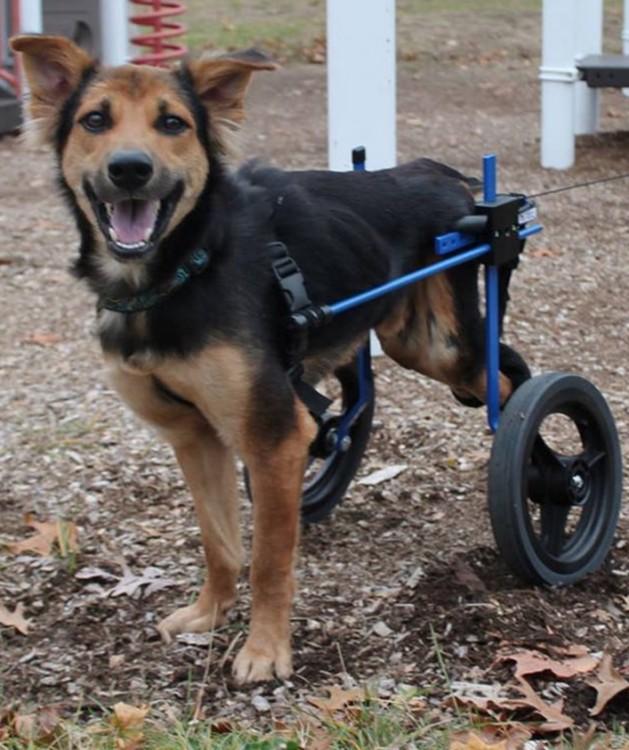 perrito usando un aparato que le sirve de silla de ruedas