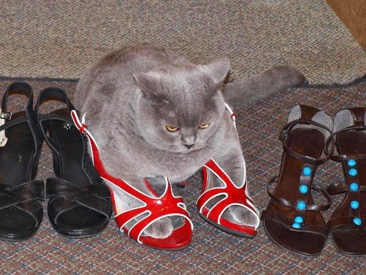 gato gris arriba de unos zapatos de color rojo