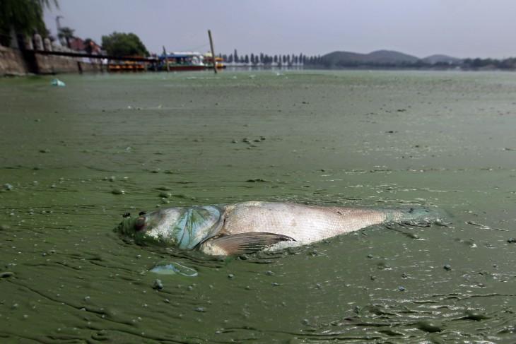 East Lake, Wuhan, pesz muerto flota en la aguas contaminadas por algas
