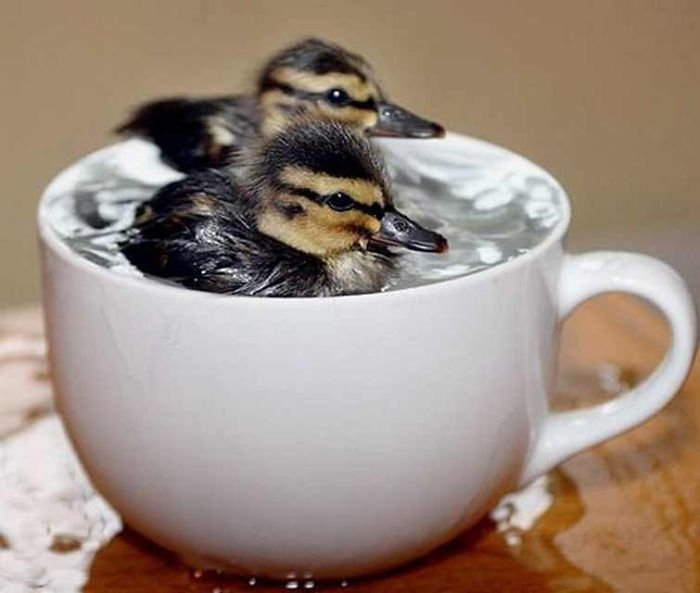 dos patitos nadando dentro de una taza