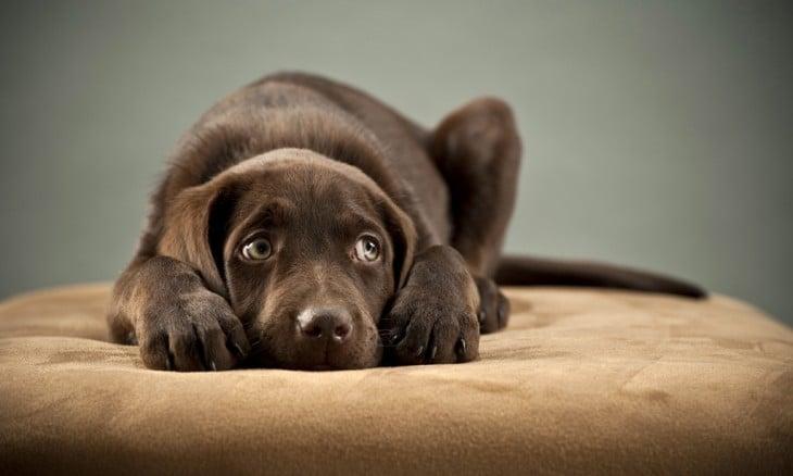 Labrador café con miedo