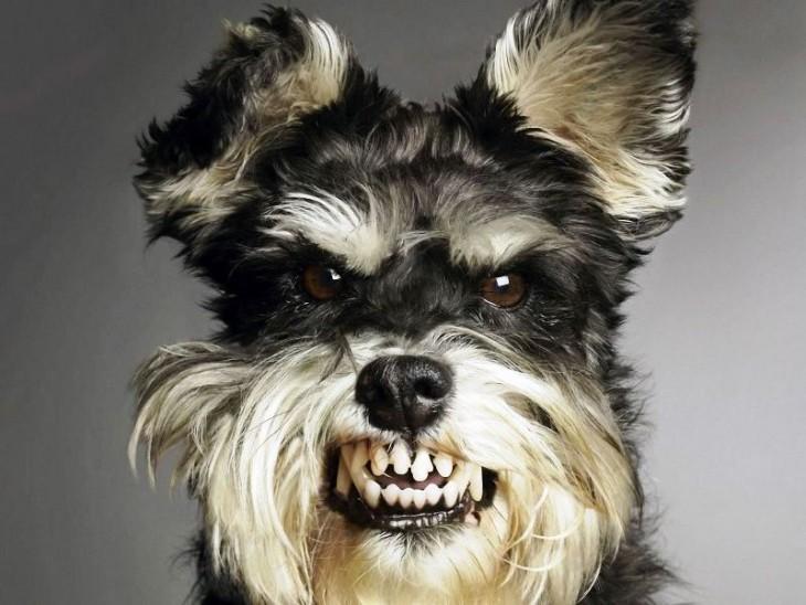 Perro schnauzer enojado
