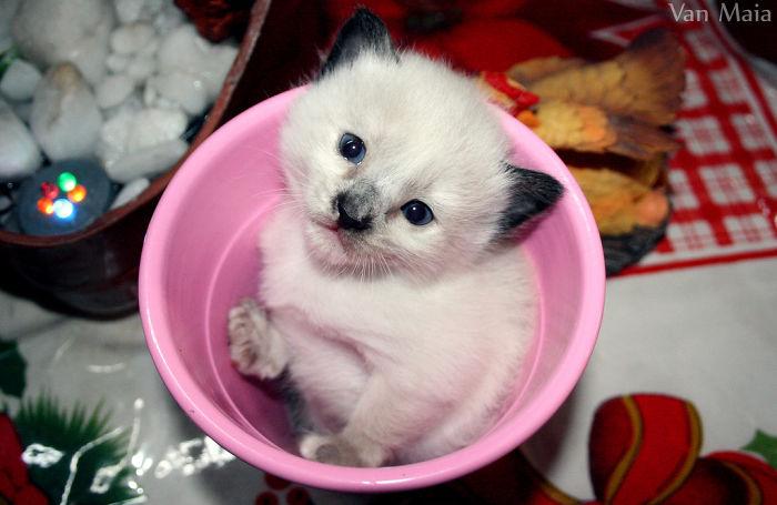 gatito con las orejas negras denro de una taza rosa