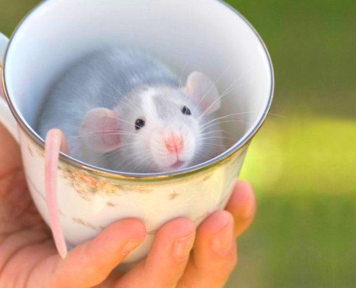 raton dentro de una taza le sale la cola por un lado