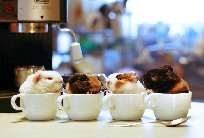 cuatro hamster de color balnco, negro y cafe dentro de tazas
