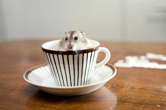 hamster dentro de una taza con rayas cafes