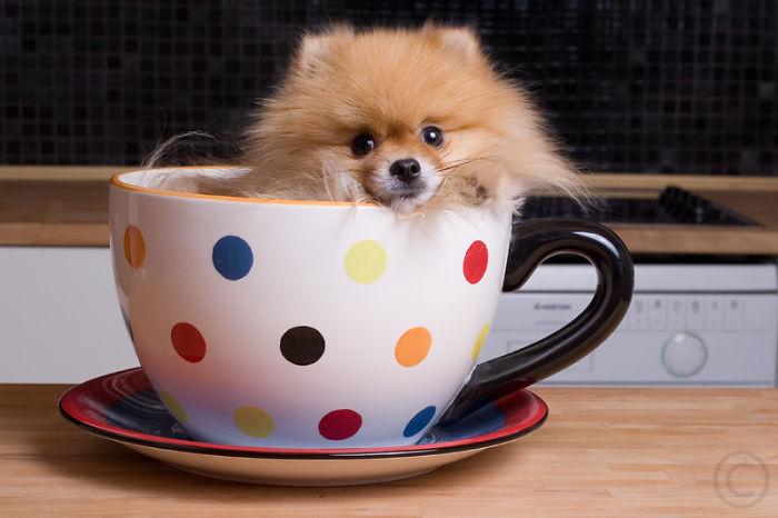 perrito pomerania dentro de una taza blanca con puntos de colores