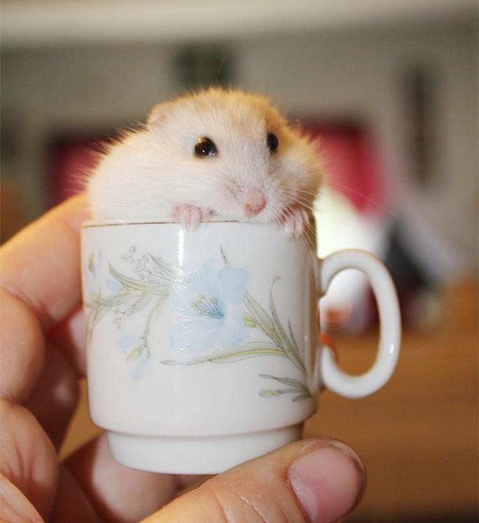 hamster con blanco dentro de una taza