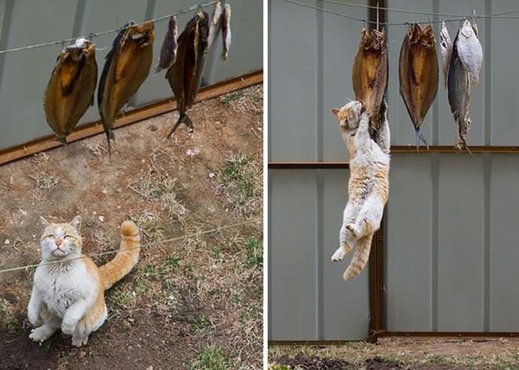 gato robando peces