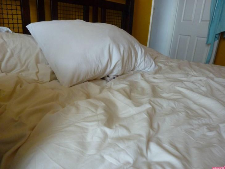 gato escondido debajo de una almohada