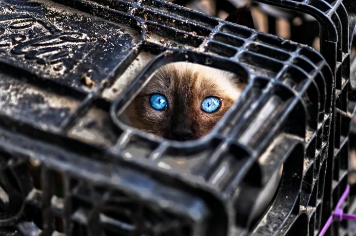 gato ojos azules adentro de una caja