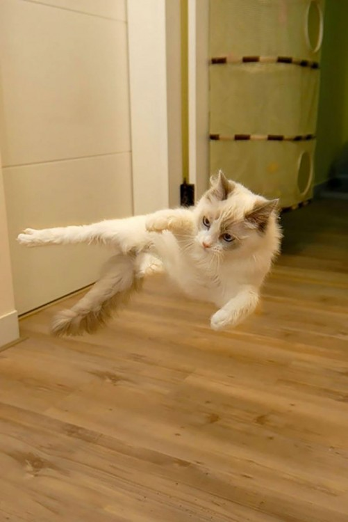 gato blanco saltando y pateando