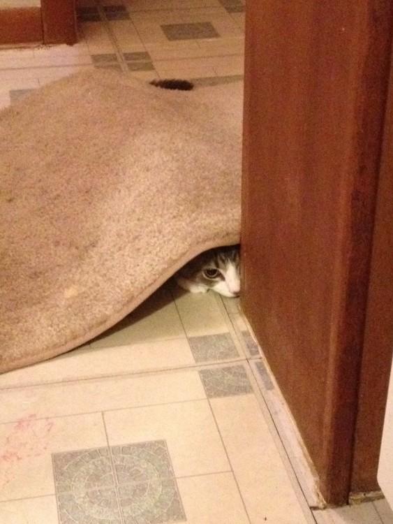 gato escondido debajo de una alfombra
