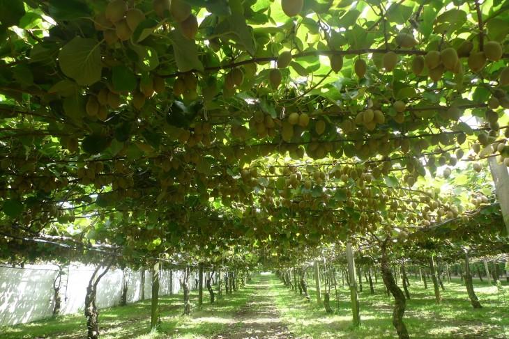 parral cargado de frutos de de kiwi
