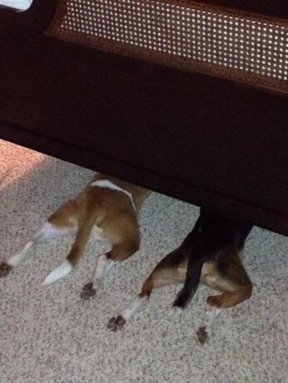 Perros se esconden debajo de la cama
