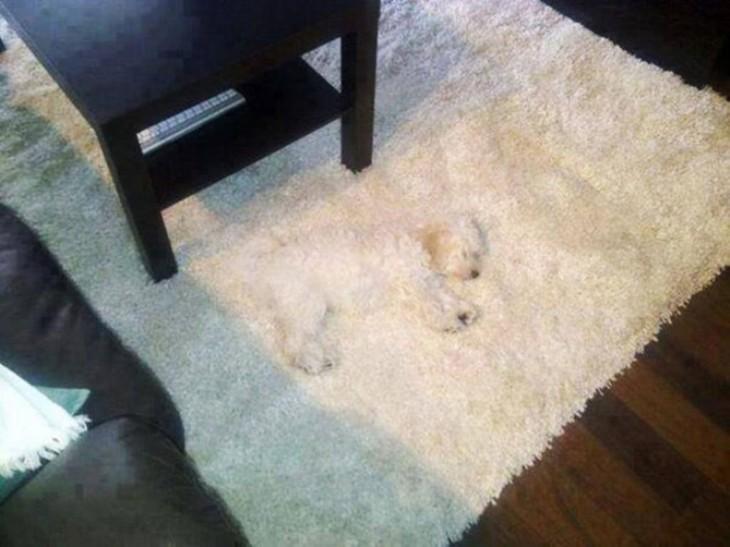 Perrito escondido camuflado con alfombra blanca
