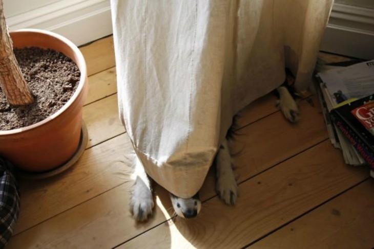 Perrota blan escondido en cortina blanca