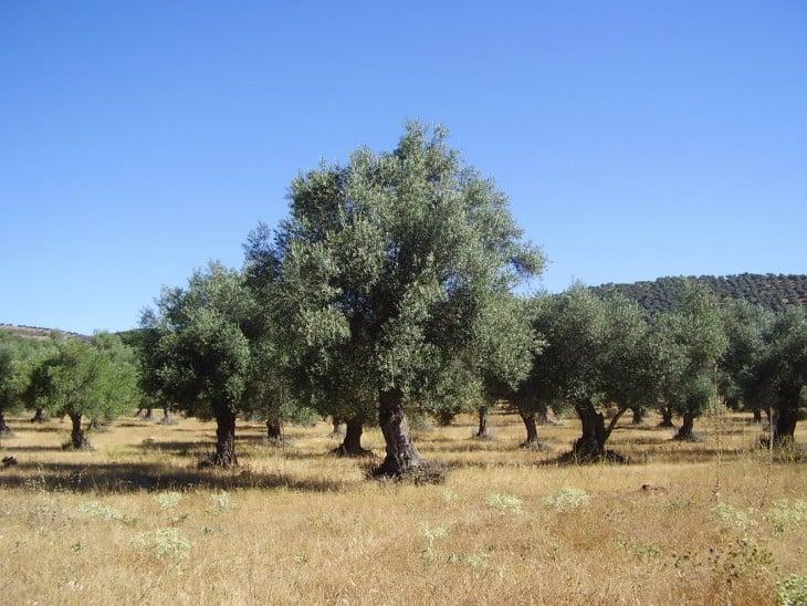 arboles de aceitunas