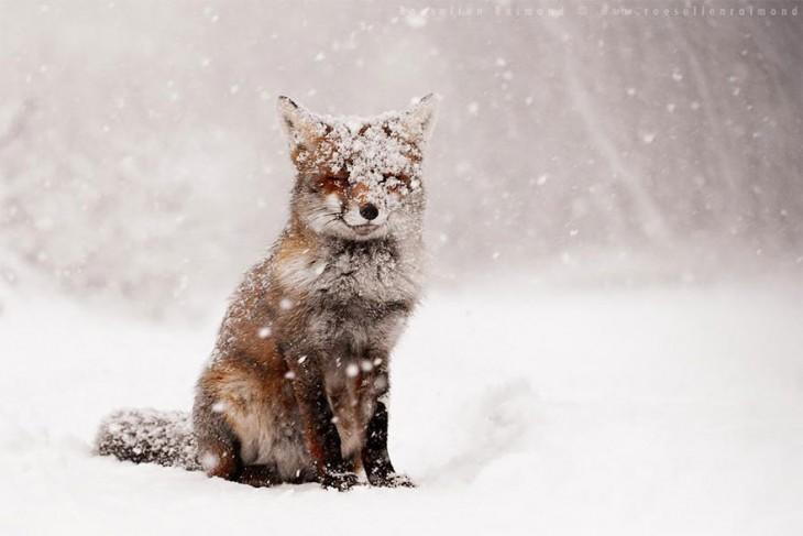 zorro de color rojo cubierto de nieve