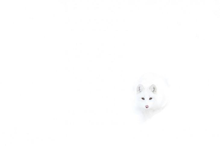 zorro de color blanco en la nieve