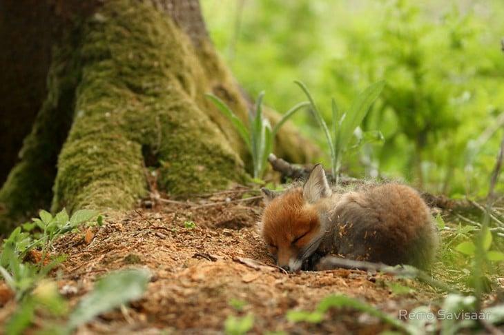 pequeño zorro dormido en el bosque al lado de un arbol
