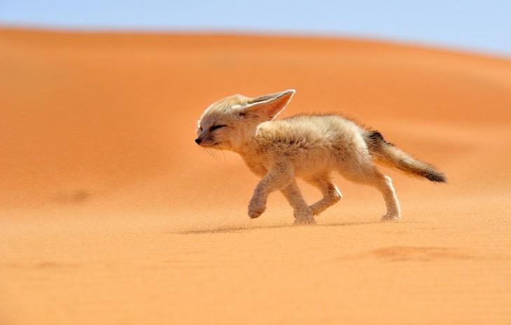 cachorro zorro caminando en el desierto