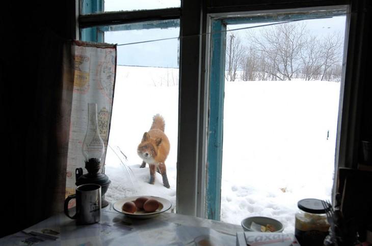 zorro de color rojizo en la nieve asomandose por una ventana de una casa