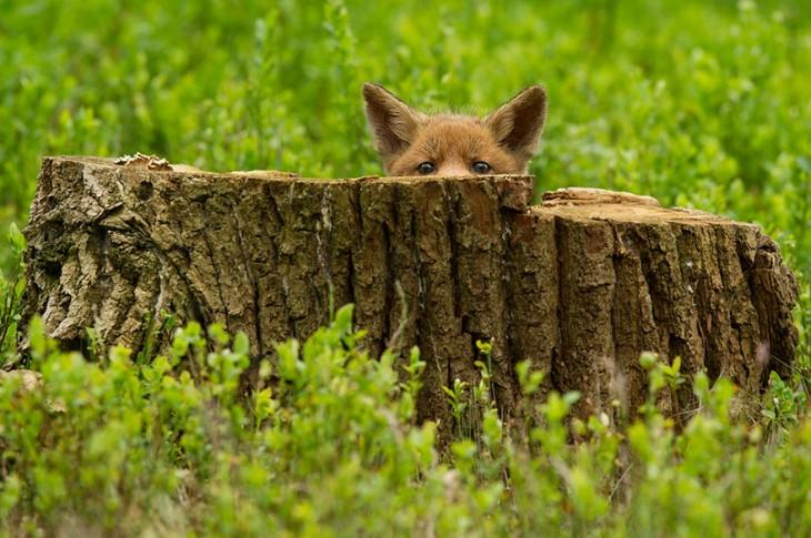 zorro de color cafe en el campo escondido detras de un tronco