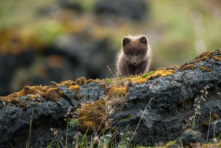 cachorrito de un zorro de color gris en las rocas