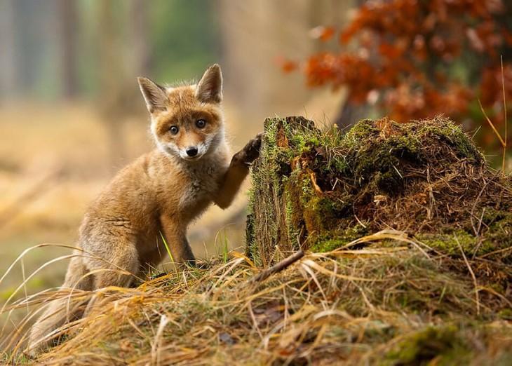 zorro de color rojo que esta tocando con la pata un pedazo de madera con musgo